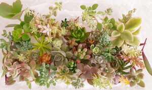 多肉植物 カット苗30種類 40カット~ 寄せ植え グランドカバー エケベリア セダム クラッスラ ネックレス 色々 お得