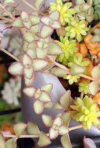 オマケつき 多肉植物 リトルフロッジー カット苗5本 4~5cm程の長さです 紅葉してきました レア 珍 寄せ植え グランドカバー