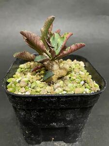 ユーフォルビア プリムリフォリア 実生苗 euphorbia primulifolia コーデックス 多肉植物 パキポディウムグラキリス 塊根植物