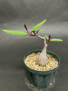 ペトペンチア ナタレンシス 実生苗 Petopentia natalensis コーデックス 多肉植物 パキポディウムグラキリス 塊根植物