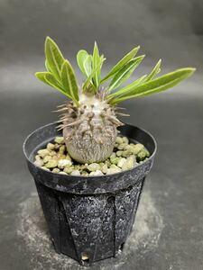 パキポディウム デンシカウレ 実生苗 Pachypodium densicaule コーデックス 多肉植物 パキポディウムグラキリス 塊根植物