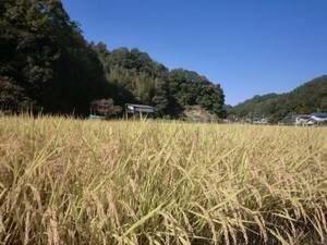 無農薬 有機肥料 令和2年度コシヒカリ  玄米15キロ   広島県産 農家直送