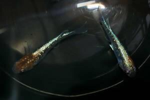 ∞水都めだか∞ 現物出品 オーロラ黄ラメ体外光 ☆2020年産 成魚メス2 ☆