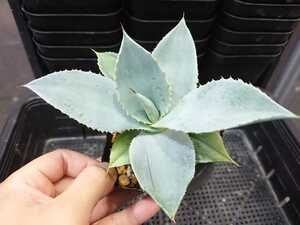 AAD アガベ Agave pygmaea dragon toes ピグマエア ドラゴン トゥース 発根済み 育成株 B