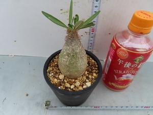 ホ292 【塊根植物・現地株】パキポディウム グラキリス SS【マダガスカル・未発根・Pachypodium gracilius】