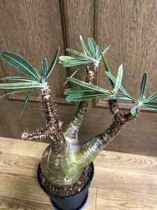 パキポディウム グラキリス コーデックス 塊根植物 緑肌