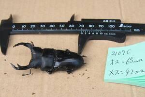 国産オオクワガタ ペア ♂65mm♀42mm (2109C)