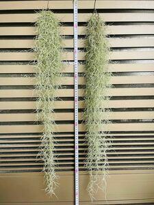 (状態◎)ウスネオイデス 70センチ超 2束セット  スパニッシュモス 観葉植物 エアプランツ エアープランツ インテリア