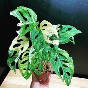 希少 モンステラ 斑入り マドカズラ Monstera adansonii variegata