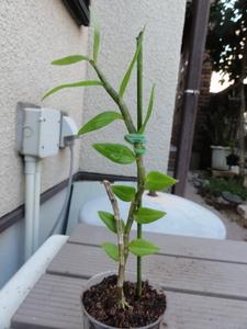 洋蘭原種デンドロビューム Den.pierardii '兜咲き'.オリジナル株,開花サイズ。
