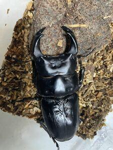 阿古谷産オオクワガタ 初2令幼虫4匹+死着保証1匹 親種大型大頭大顎 8030までもう少し