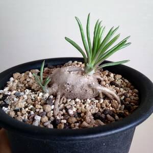 セネシオ 不明種 セネキオ 多肉植物 塊根植物 コーデックス 珍奇植物 ユーフォルビア パキポディウムグラキリス ケラリア