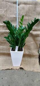 観葉植物 ザミオクルカス6寸角鉢