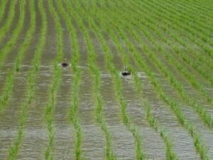 収穫終了セール 新米 令和3年度福井こしひかり・減農薬白米5kg・送料無料・精米無料・害虫農薬散布無