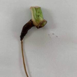 斑入りモンステラ 茎 発根済み