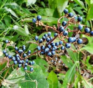 ヤブミョウガ 種 50粒 多年草 地下茎で増える ガーデニング シェードガーデン 山野草 茶花 ボタニカルアート 藍色の実 同梱歓迎