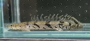即決 1匹 ポリプテルス エンドリケリー 約8cm※九州地方、沖縄県、北海道には発送出来ません※