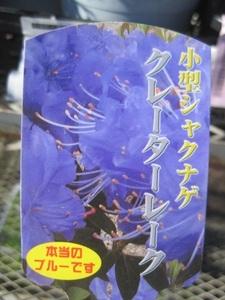 小形シャクナゲの苗木 『クレーターレーク』 青 5号鉢