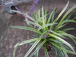 斑入りヤブラン苗 10.5センチポット 耐寒性宿根草 山野草 リリオペ