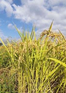 送料込み 令和3年産玄米25kg 減農薬栽培カグラモチ 福井県産 農家直送 管理番号9