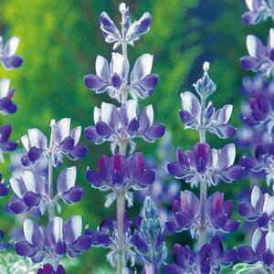 【花の種】傘葉ルピナス 傘咲ルピナス 大輪に紫色 ブルー 30粒 4種郵便のみ送料無料