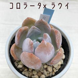 7-2. コロラータ×ラウイ 多肉植物 エケベリア