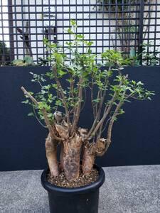 ≡MJ2≡ ブルセラ ファガロイデス B / パキポディウム コミフォラ オトンナ オペルクリカリア パキプス ユーフォルビア チレコドン 灌木