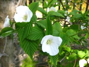 山野草の種■シロヤマブキ白山吹 30粒 白い花 茶花 植物種子■耐寒低木、寒冷地可 育てやすい■庭木、盆栽