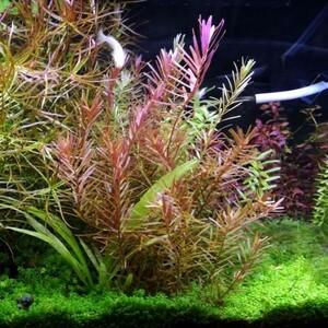 ロタラミックス100本+α 水中葉 水草 赤色系 メダカ 熱帯魚 金魚 エビ 人気 おすすめ3