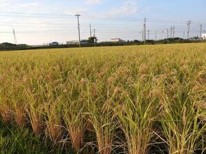 送料込・令和3年産富山コシヒカリ個人農家・玄米20kg精米無料・減農薬・減化学肥料No4