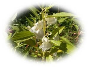 ホウセンカ 白 15粒 鳳仙花 自家採取 ほうせんか 花が大好き