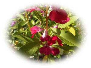 ホウセンカ 赤 15粒 鳳仙花 自家採取 ほうせんか 花が大好き