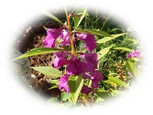 ホウセンカ ムラサキ 15粒 鳳仙花 自家採取 ほうせんか 種 花が大好き