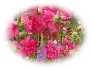 ホリホック 濃いピンク 20粒 種 タチアオイ 自家採取 立葵 種 花が大好き