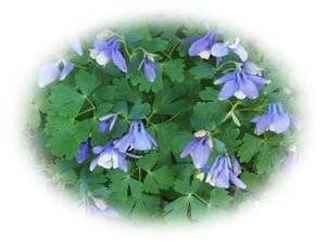 ミヤマオダマキ? 深山おだまき? みやまおだまき?  30粒 耐寒性多年草 自家採取 種 花が大好き