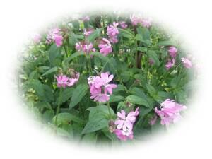 シレネ 20粒 種 自家採取 花が大好き