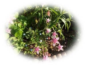 オダマキ ピンクランタン おだまき 15粒 自家採取 耐寒性多年草 種 花が大好き
