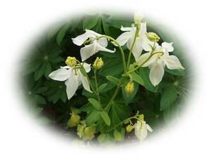 オダマキ メローイエロー おだまき 15粒 耐寒性多年草 自家採取 種 花が大好き