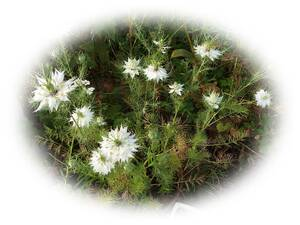 くろたねそう ニゲラ 白 15粒  クロタネソウ 自家採取 黒種草 花が大好き