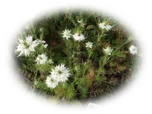 くろたねそう ニゲラ 白 15粒  クロタネソウ 黒種草 自家採取 花が大好き