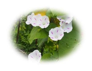朝顔 ミルキーウェイ 7粒  アサガオ 種 あさがお 自家採取 花が大好き