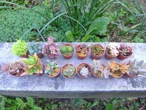 16種類から自分で選べるミニミニ多肉植物 根付き苗 詳しい事は下の説明文をよくお読みください !