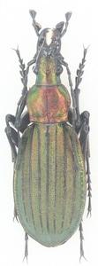標本 キタオオルリオサムシ♂27 昆虫専門店ヘラクレス・ヘラクレス