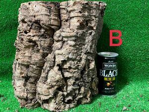 【全品 送料無料】コルク樹皮 キャノン型 色んなコルク出品中一覧へ! ビカクシダ エアープランツ チランジア テラリウム エアプランツ 木