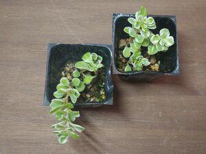 多肉植物 セダム マキノイバリエガータ 覆輪丸葉万年草 プラグ苗