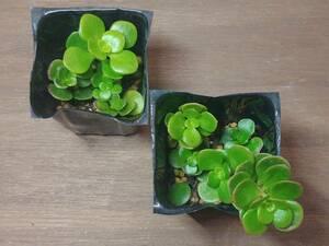多肉植物 セダム 大葉丸葉万年草 テトラ プラグ苗