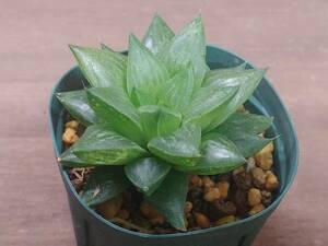 多肉植物 ハオルチア 玉緑