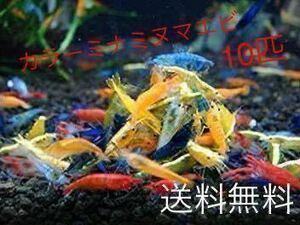 カラーミナミヌマエビ 10匹 ミナミヌマエビ 赤いミナミヌマエビ チェリーシュリンプ アナカリス 水草 メダカ 金魚 ヤマトヌマエビ
