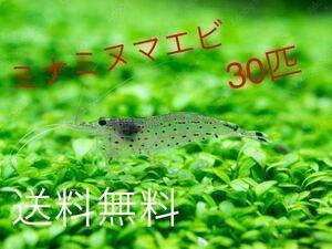 ミナミヌマエビ 30匹 赤いミナミヌマエビ チェリーシュリンプ 水草 アナカリス メダカ 金魚 ヤマトヌマエビ