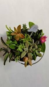 ★かわいい多肉植物 ハロウィン用ピック付き③★ちまちま寄せ植え カット苗 観葉植物 卓上インテリア